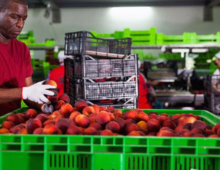 worker handling fruit